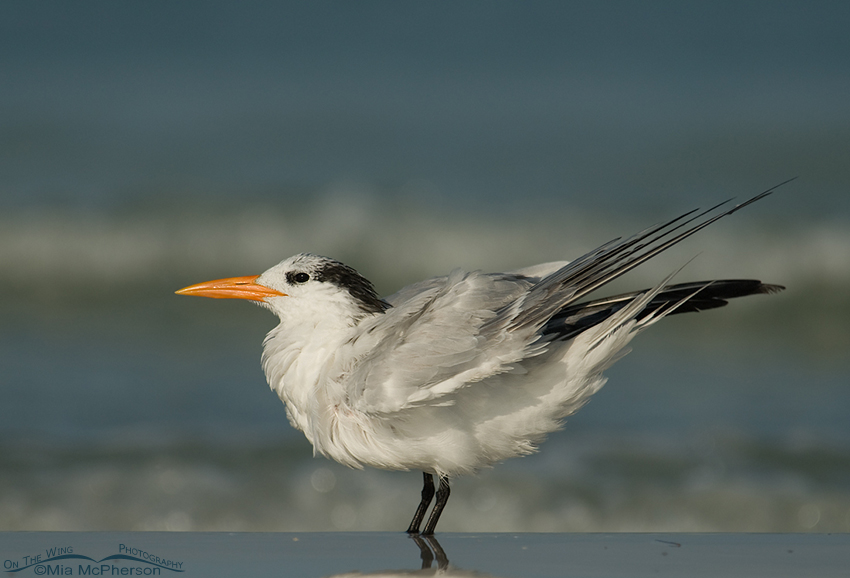 Royal Tern in nonbreeding plumage