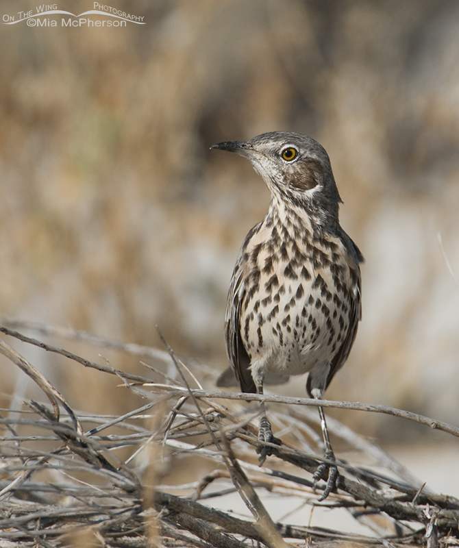 A fearless Sage Thrasher