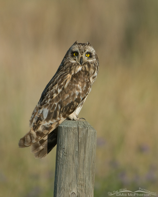 Short-eared Owl Posing pretty