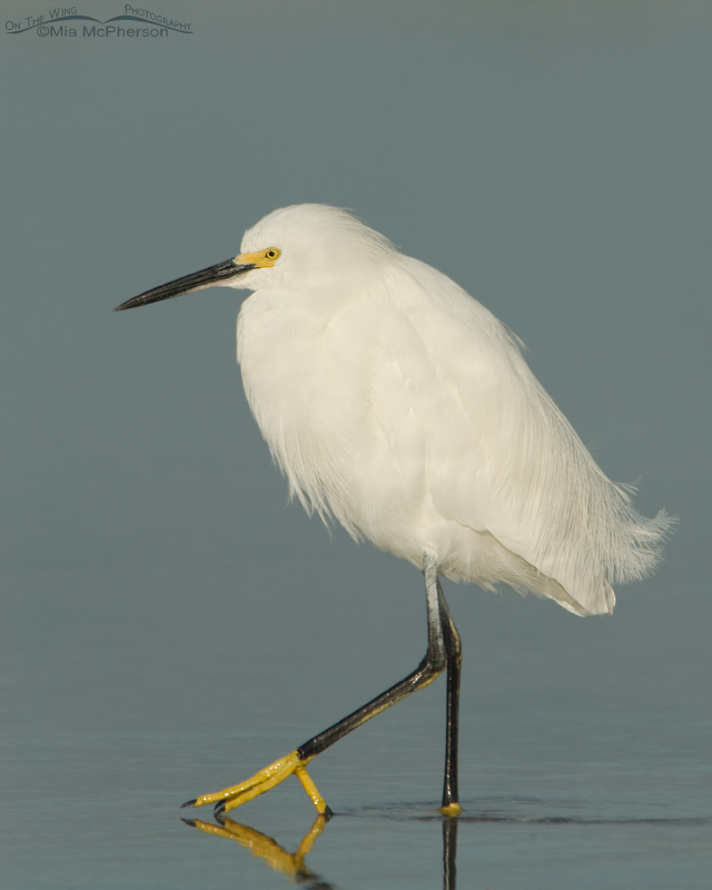 Calm Snowy Egret