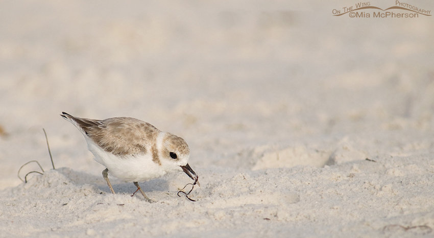 The Ant and the Snowy Plover