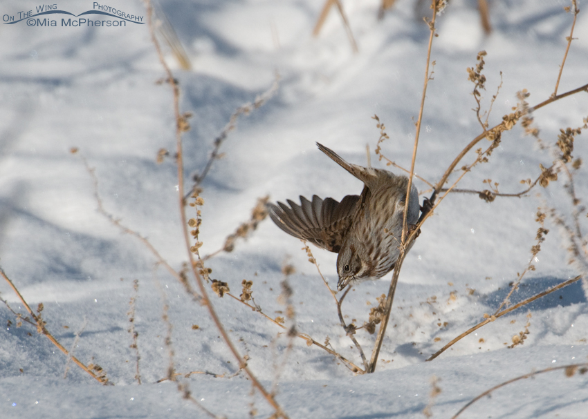Song Sparrow on a bitter cold winter day