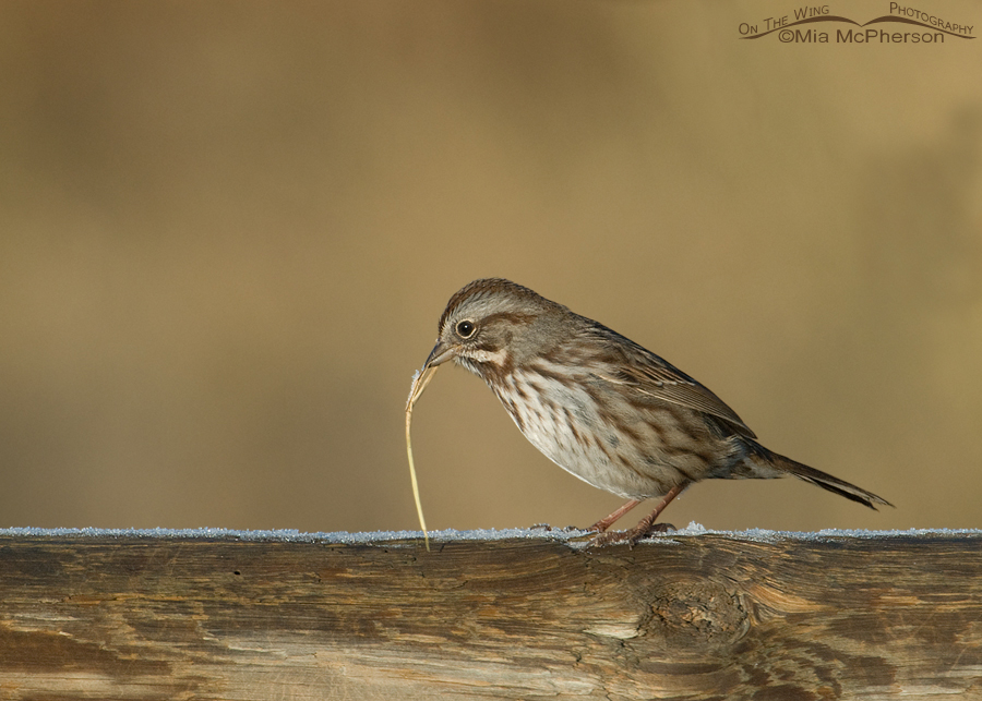 Song Sparrow on a frosty Utah morning