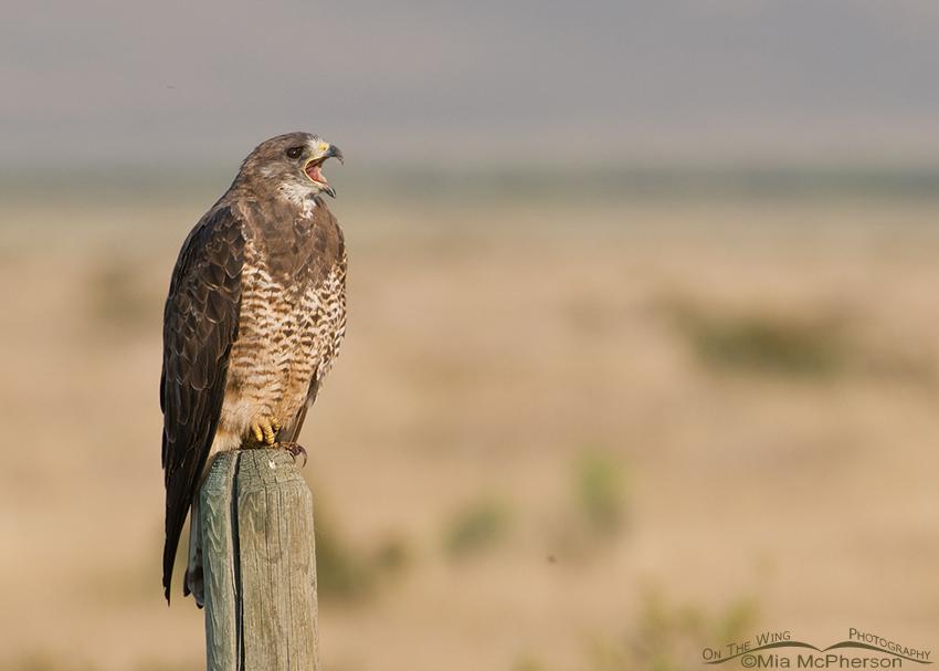 Calling adult Swainson's Hawk