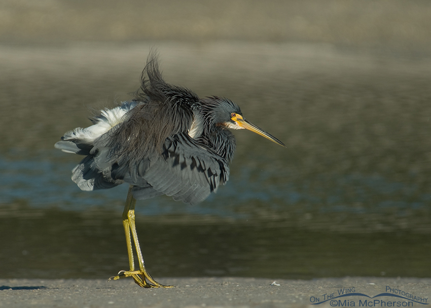 Tricolored Heron shaking it up