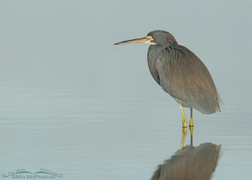 Tricolored Heron Tranquility