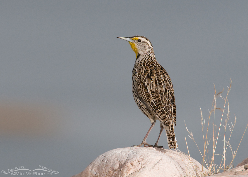 Western Meadowlark on a boulder