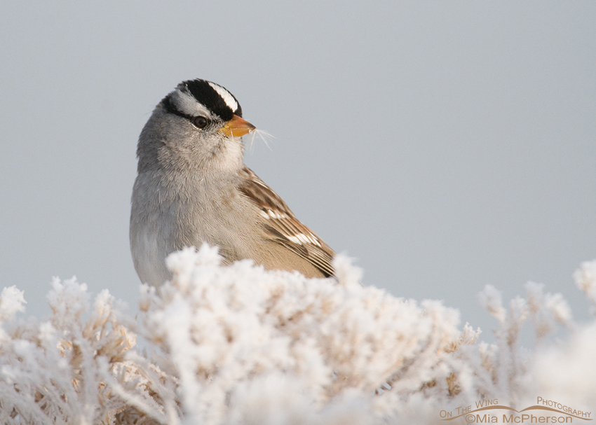 White-crowned Sparrow on frost covered Rabbitbrush