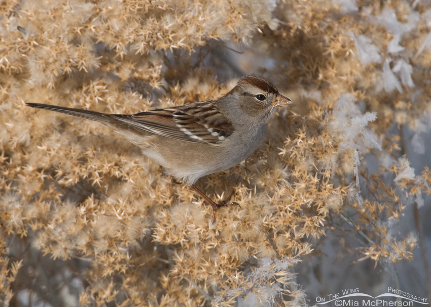 Juvenile White-crowned Sparrow with a seed on its bill