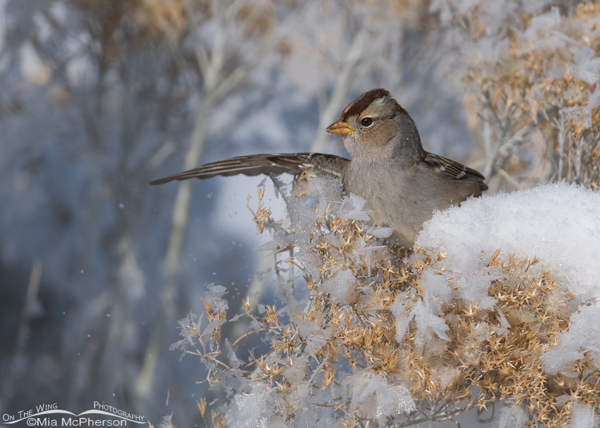 Juvenile White-crowned Sparrow landing and knocking frost off of Rabbitbrush