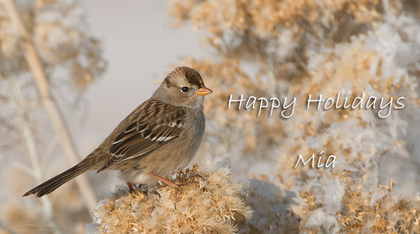 Happy Holidays - White Crowned Sparrow