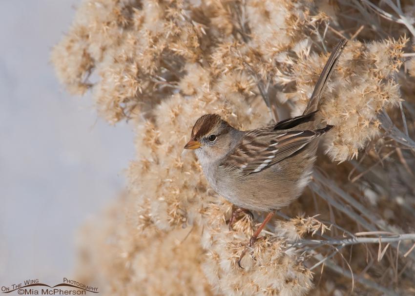 White-crowned Sparrow juvenile on Rabbitbrush