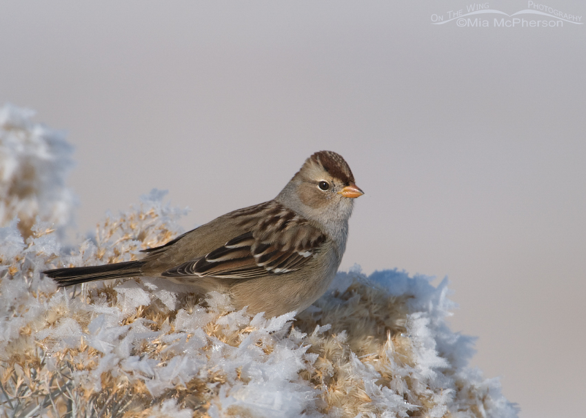 Hoar frost and a White-crowned Sparrow juvenile