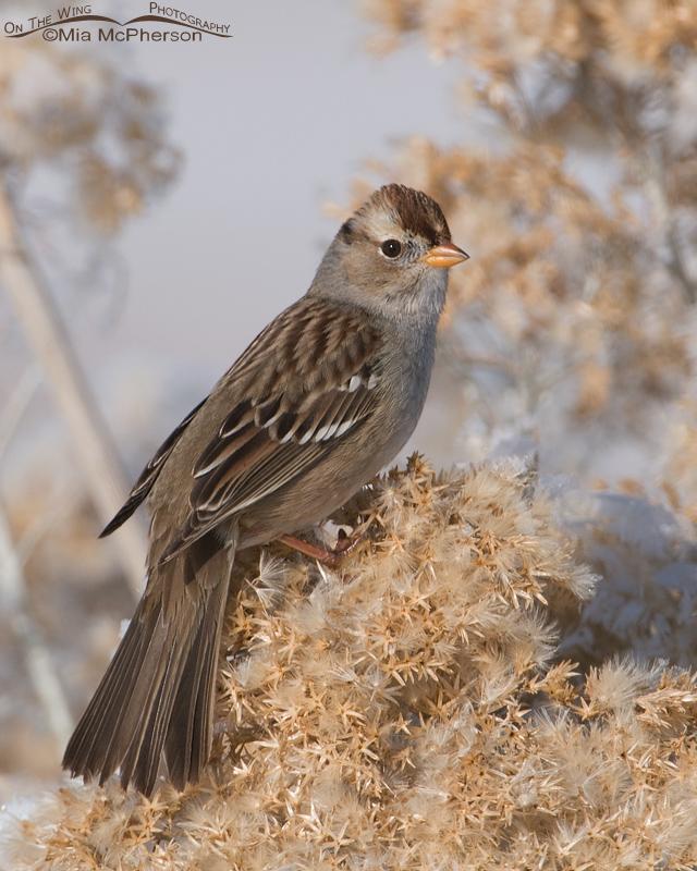 An alert White-crowned Sparrow juvenile