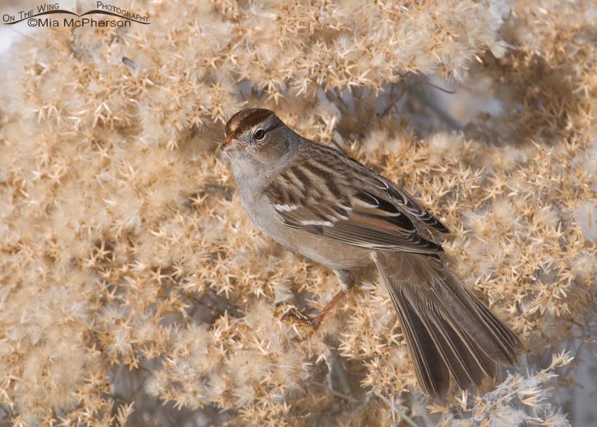 Juvenile White-crowned Sparrow foraging on Rabbitbrush