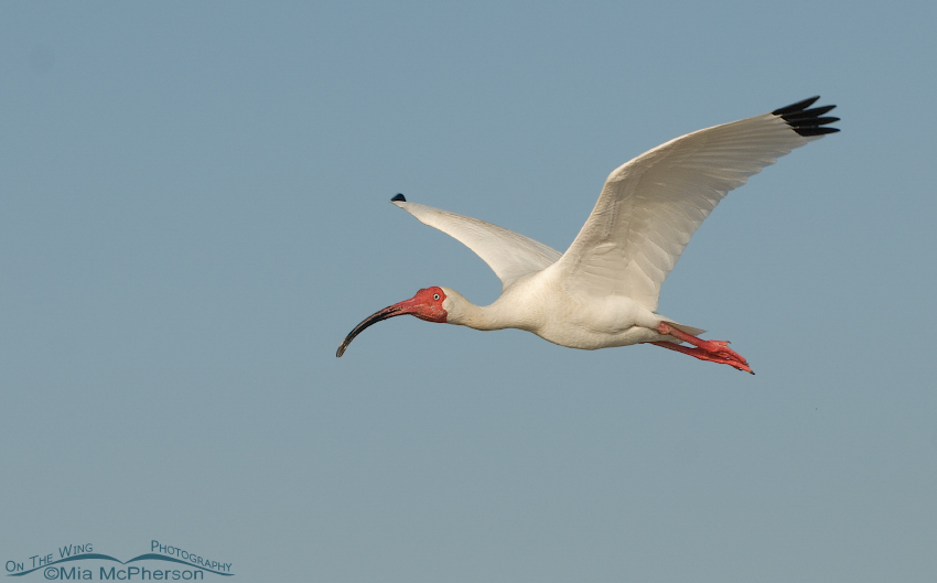 Breeding plumage White Ibis in flight