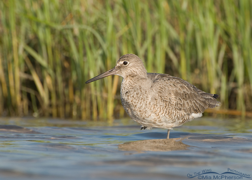 Willet resting in a Spartina Marsh