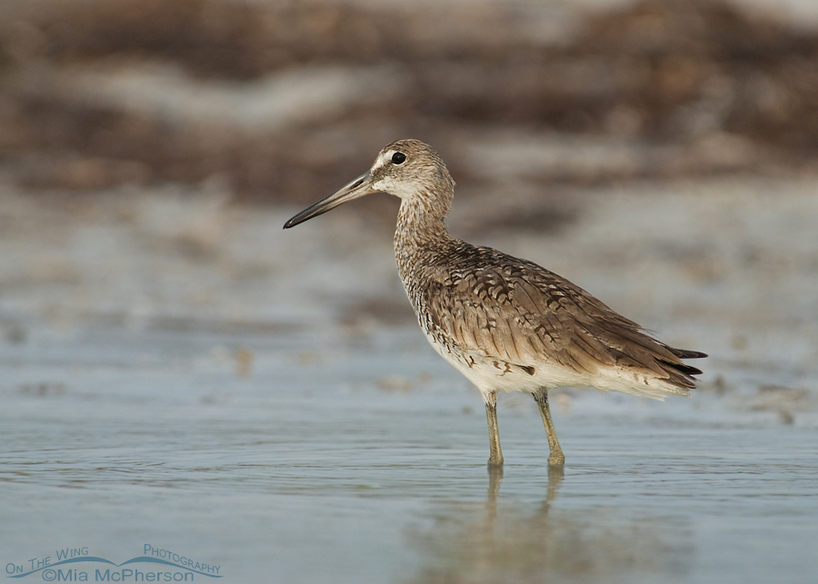 Willet in a fog
