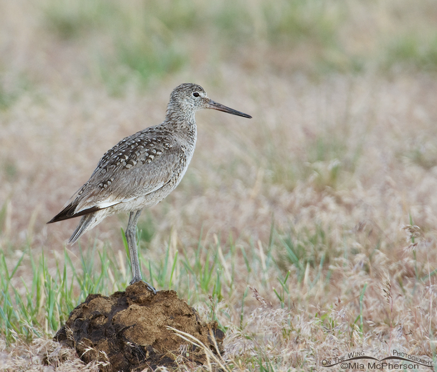 Willet on a Poopy Perch