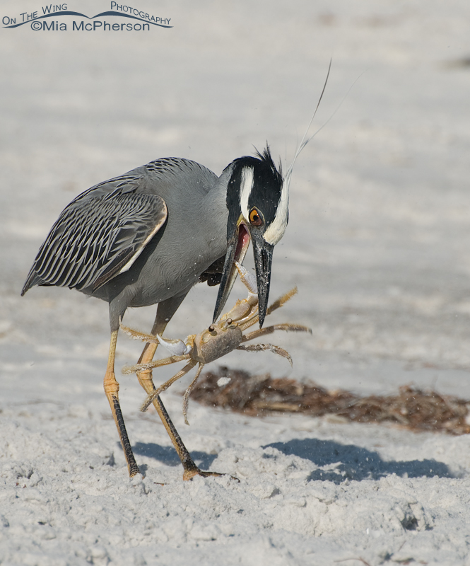 Yellow-crowned Night Heron with a Ghost Crab on its bill
