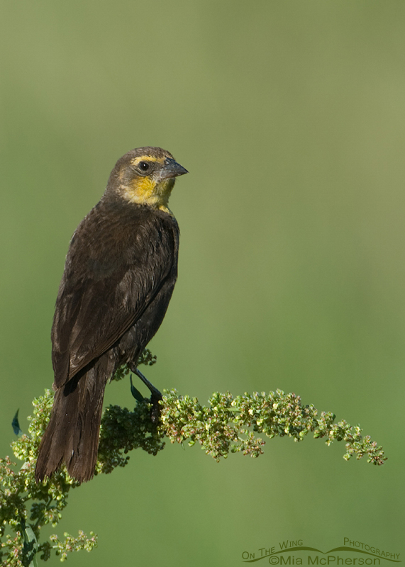 Female Yellow-headed Blackbird on Curly Dock