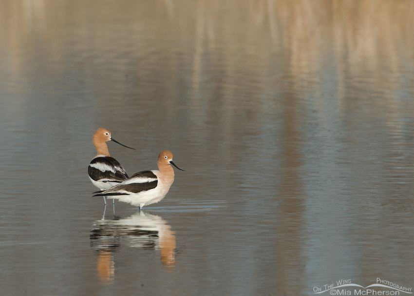 American Avocets yearly sequel