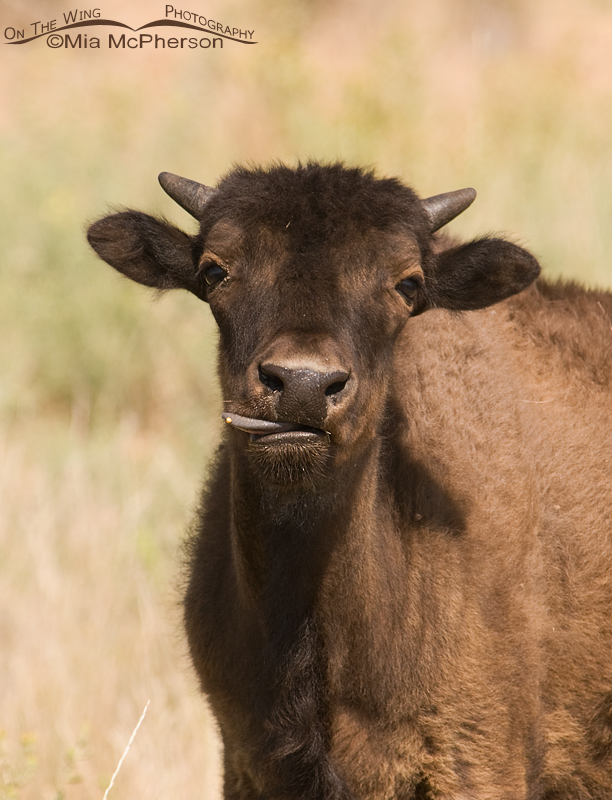 American Bison calf with its tongue sticking out