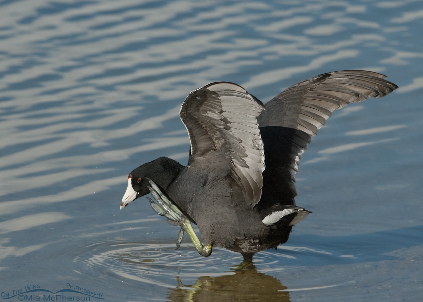 American Coot Scratching