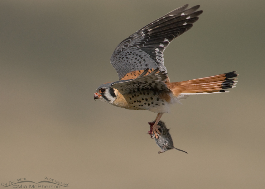 Male American Kestrel in flight with a vole