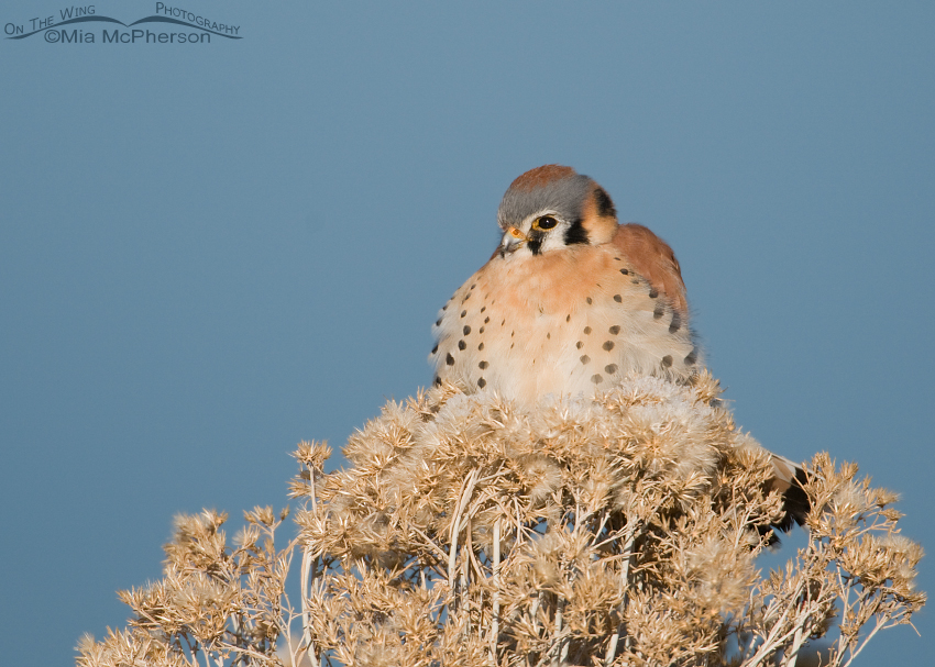 Perched American Kestrel male