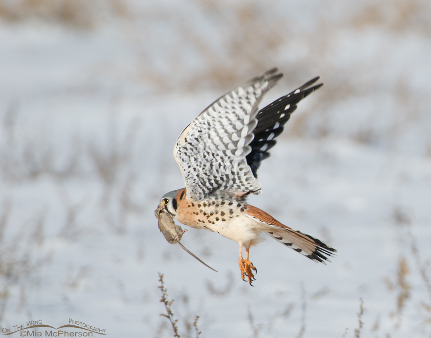 Male American Kestrel with prey