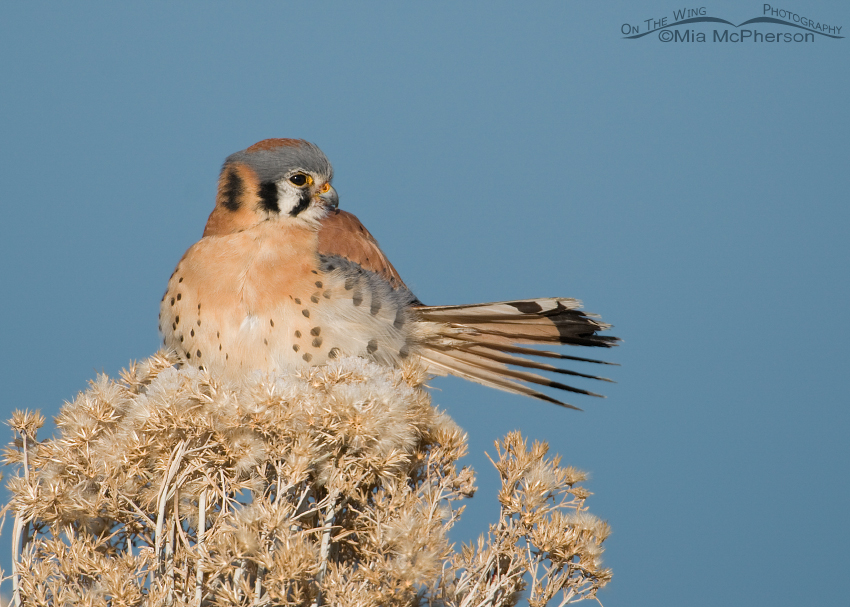 American Kestrel with tail fanned