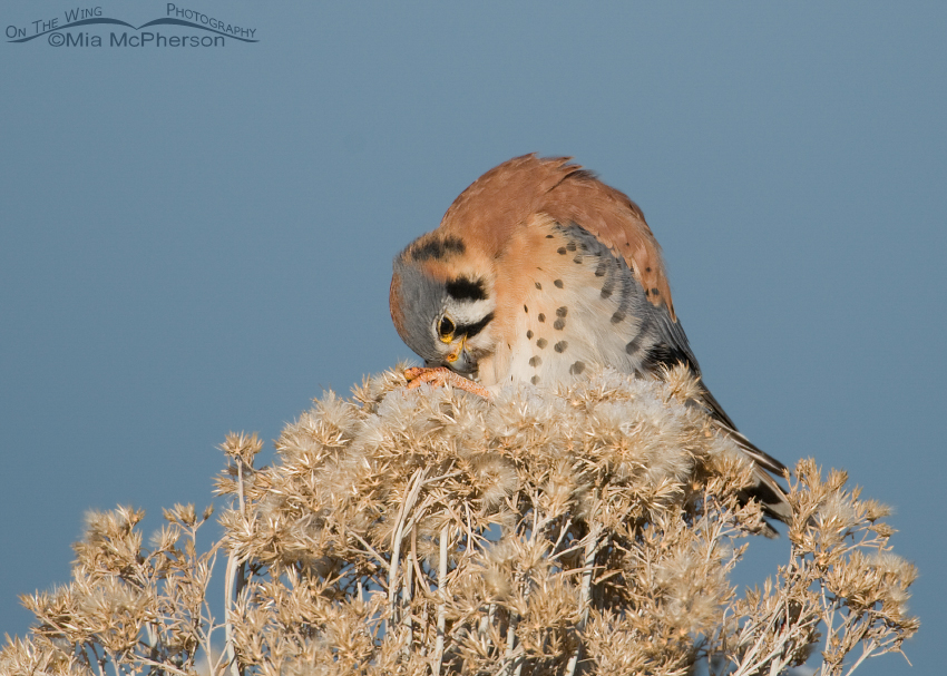 American Kestrel cleaning his feet