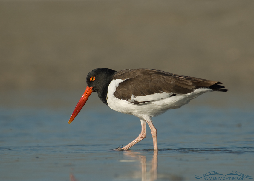 Adult American Oystercatcher in a tidal lagoon