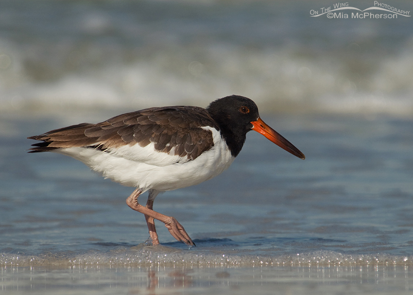 American Oystercatcher at 103 days old