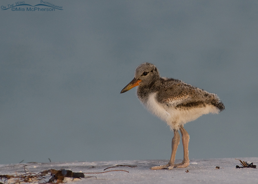 Thirteen day old American Oystercatcher chick