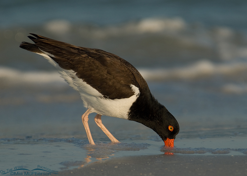 American Oystercatcher digging for prey