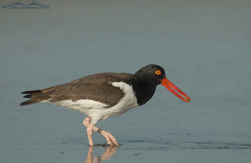 American Oystercatcher with prey