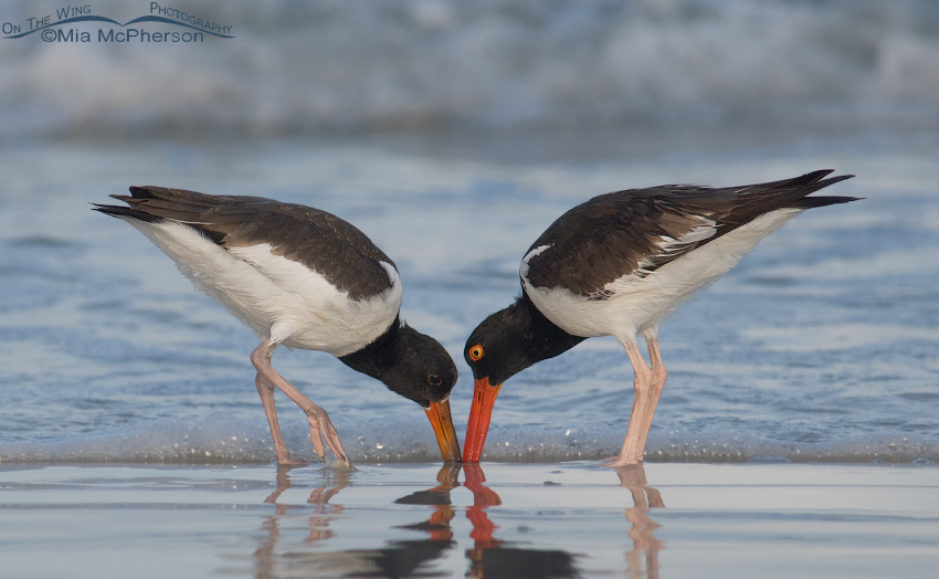 American Oystercatchers just after sunrise