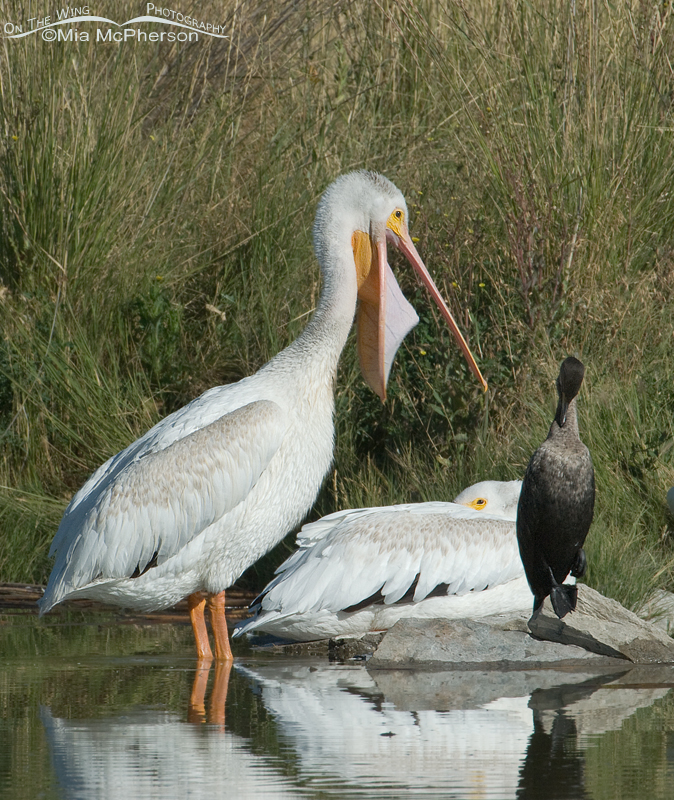American White Pelican cleaning bill