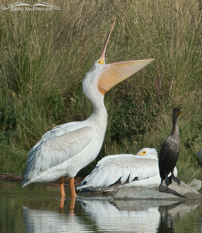 American White Pelican opening its bill