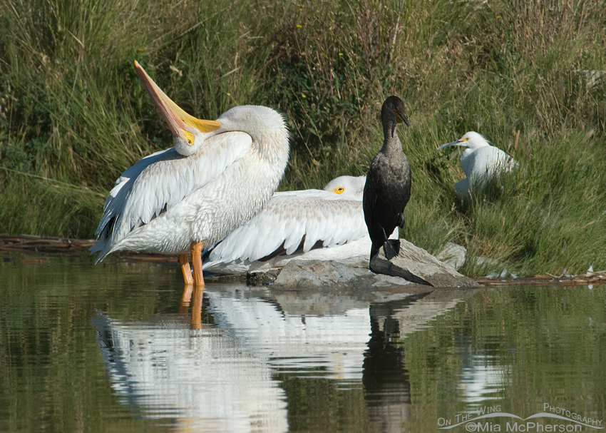 American White Pelican rubbing its head on its back