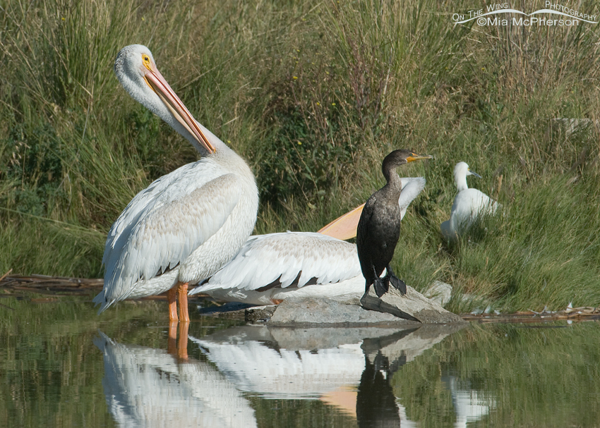 American White Pelican scratching its neck
