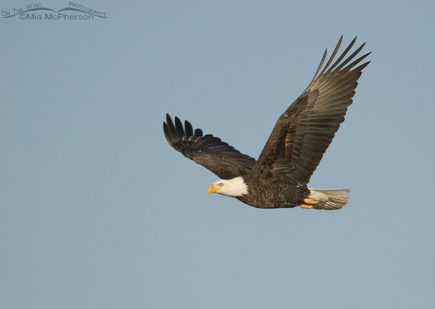 Adult Bald Eagle in flight in morning light