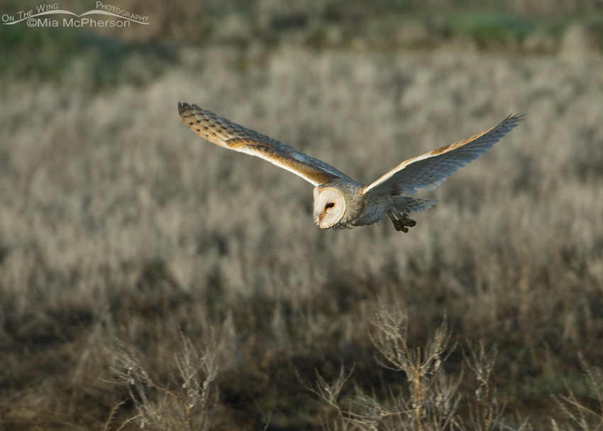 Adult Barn Owl (Tyto alba) in flight