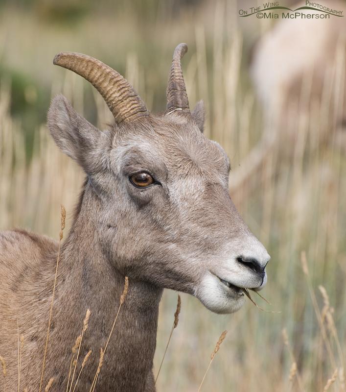 Portrait of a Bighorn Sheep ewe