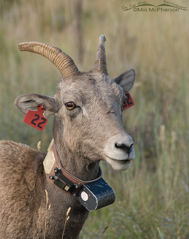 Radio collared Bighorn Sheep ewe