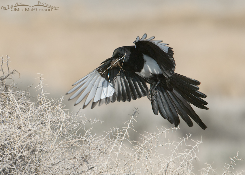 Black-billed Magpie landing with nesting material
