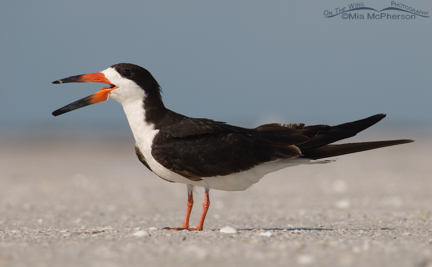 Calling adult Black Skimmer in breeding plumage