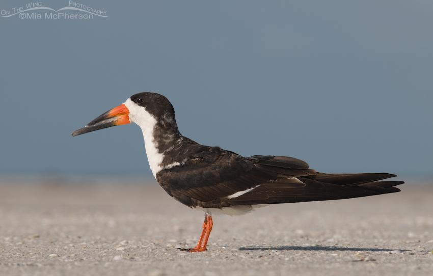 Adult Black Skimmer resting on beach